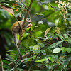 A Squirrel monkey in Kanuku Mountains Protected Area. © Daniel Rosengren / FZS
