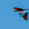 Red-and-green Macaws flying over the Tambopata NR, Peru. © Daniel Rosengren / FZS