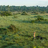 The grass is tall on the Pampas del heath. I had to climb a tree to take this photos. Bahuaja Sonene NP, Peru. Here Keyli Huamani is seen scanning her surroundings. © Daniel Rosengren / FZS