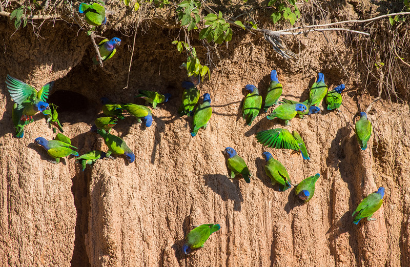 A Blue-headed parrots at a clay lick (Colpa) in Tambopata NR, Peru. Birds and mammals in this region often eat clay to aquire extra minerals. © Daniel Rosengren / FZS