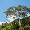 A Ceiba tree in the Bahuaja Sonene NP, Peru. These trees are one of the most impressive trees in the Amazon, often reaching far above the rest of the forest. Peru. © Daniel Rosengren / FZS