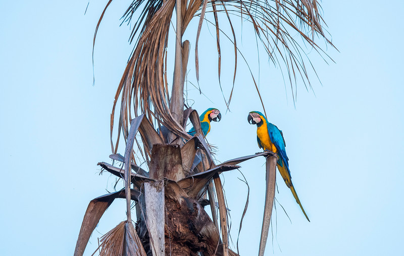 Blue-and-yellow Macaws in a palm tree at the Pampas del Heath, Bahuaja Sonene NP, Peru. © Daniel Rosengren / FZS