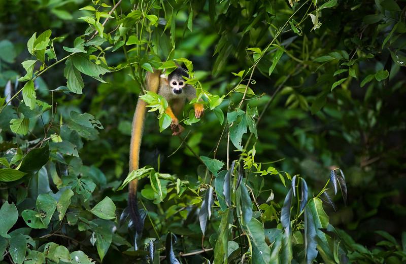 A Common Squirrel Monkey seen at the Lago Guacamayos, Tambopata NR, Peru. © Daniel Rosengren / FZS
