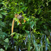 A Common Squirrel Monkey seen at the Lago Guacamayos, Tambopata NR, Peru. © Daniel Rosengren / FZS