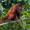 A Red Howler Monkey along the Heath River, Bahuaja Sonene NP, Peru. © Daniel Rosengren / FZS