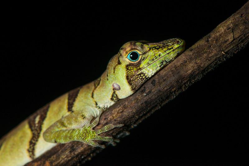 A lizard, Banded Tree Anole (Anolis transversalis) in the Yaguas, Peru. © Daniel Rosengren / FZS