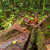 A still young Ceiba tree found cut down in Yaguas, Peru. © Daniel Rosengren / FZS