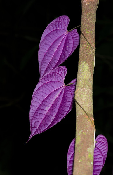 A vine with purple leaves (underneath only) in Yaguas, Peru. © Daniel Rosengren / FZS