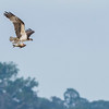 An Osprey with a fish over the Putumayo River near Yaguas, Peru. Yaguas has a great quantity of fish species as can be suspected by the large number of Ospreys in the area. © Daniel Rosengren / FZS