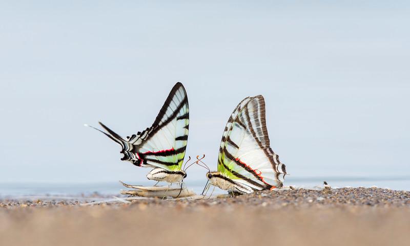 Two butterflies licking minerals from fish leftovers near Yaguas, Peru. © Daniel Rosengren / FZS