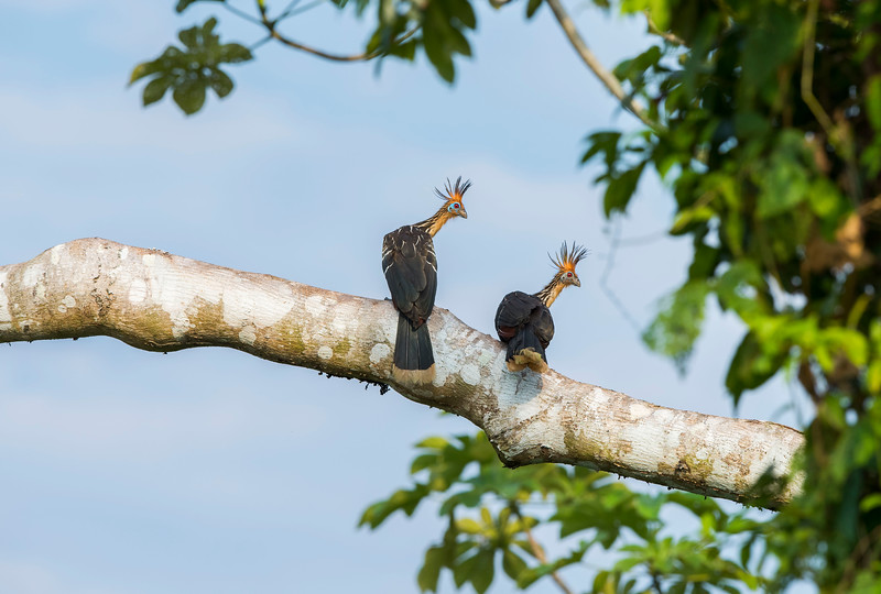 A pair of Hoatzins seen along the Putumayo River near Yaguas, Peru. © Daniel Rosengren / FZS