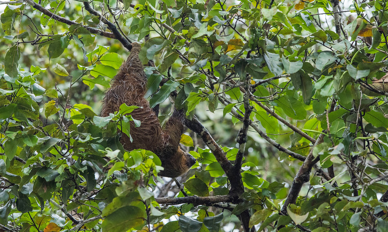 A Hoffmann's Two-toed Sloth in Yaguas, Peru. © Daniel Rosengren / FZS