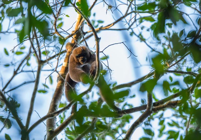 A Common Woolly Monkey in Yaguas, Peru. © Daniel Rosengren / FZS