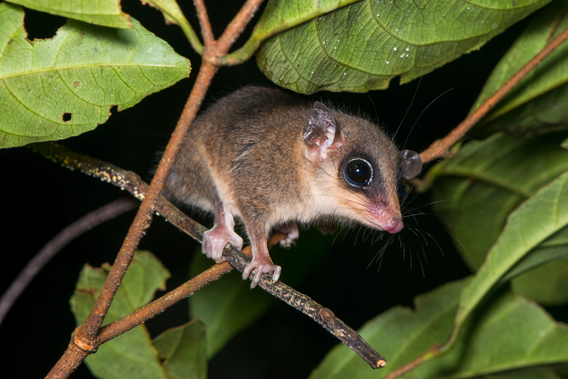An opossum in the Yaguas, Peru. © Daniel Rosengren / FZS
