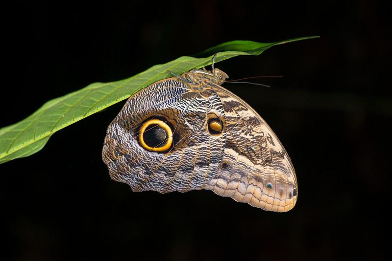 An Owl Butterfly in the Yaguas, Peru. © Daniel Rosengren / FZS