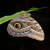 An Owl Butterfly in the Yaguas, Peru. © Daniel Rosengren / FZS