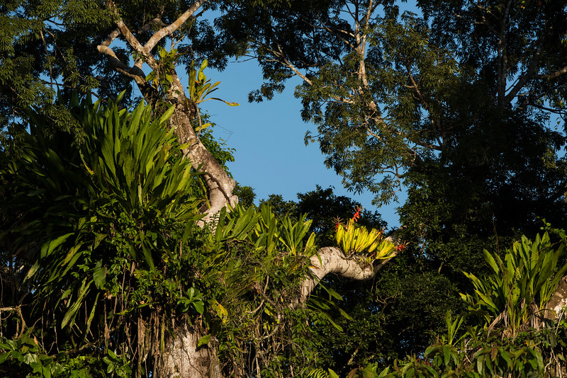 A large Ceiba tree with a lot of epiphytic plants growing on it, Bromeliads (with the red flowers) amongn others. Yaguas, Peru. © Daniel Rosengren / FZS
