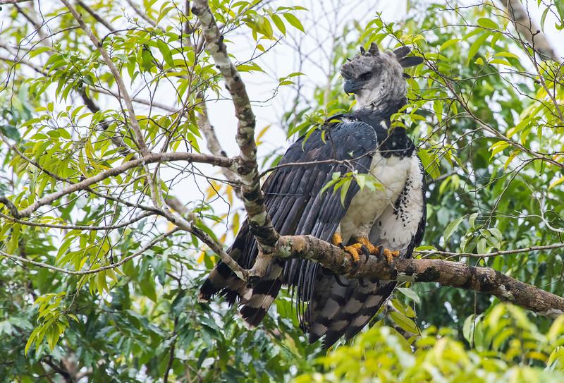 A Harpy Eagle seen along the Putumayo River near Yaguas, Peru. © Daniel Rosengren / FZS