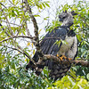A Harpy Eagle seen along the Putumayo River near Yaguas, Peru. © Daniel Rosengren / FZS