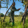 The de-snaring team taking down and dismantling poacher's snares. Grumeti GR, Tanzania. © Daniel Rosengren