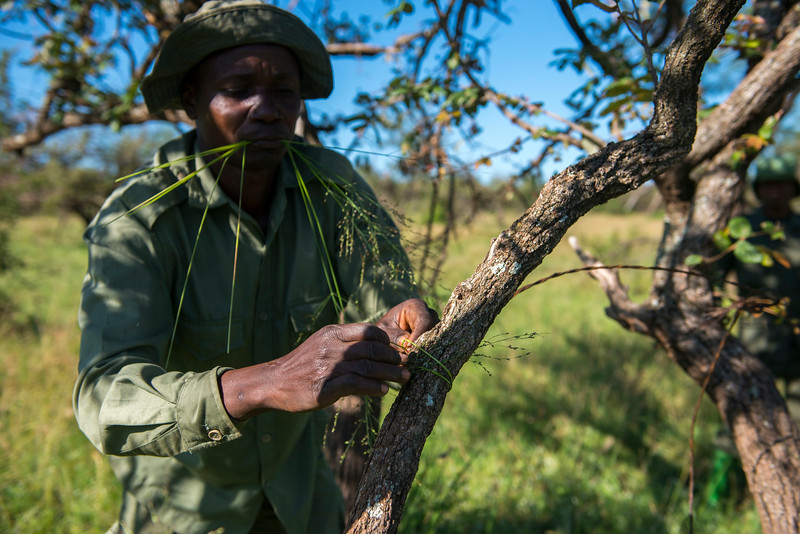 A member of the de-snaring team showing how snares are set up. The grass straws are used to tie the snare wide open and keep it in place. Grumeti GR, Tanzania. © Daniel Rosengren