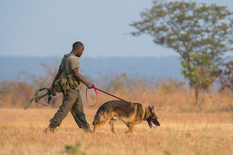 A dog handler on his way out with a dog for the daily training session. These dogs are used for anti poaching purposes and are trained to sniff out for example rhino horn, pangolin scales and ammunition. North Luangwa NP. Zambia. © Daniel Rosengren
