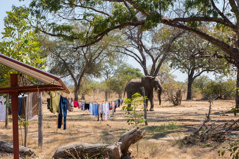 An Elephant walking through the FZS station in North Luangwa National Park, Zambia. © Daniel Rosengren