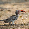 A Red-billed Hornbill in North Luangwa NP, Zambia. © Daniel Rosengren