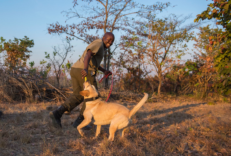 A dog handler rewarding a dog with play after a training session. These dogs are used for anti poaching purposes and are trained to sniff out for example rhino horn, pangolin scales and ammunition. North Luangwa NP. Zambia. © Daniel Rosengren