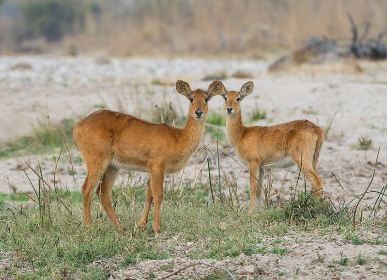 Puku antelopes seen at a river bed in North Luangwa National Park, Zambia. © Daniel Rosengren
