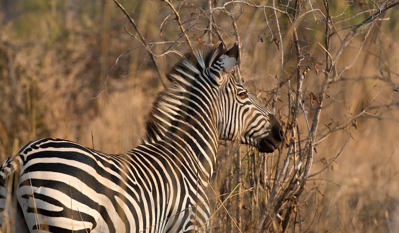 Common Zebra in North Luangwa National Park, Zambia. © Daniel Rosengren