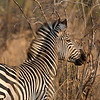 Common Zebra in North Luangwa National Park, Zambia. © Daniel Rosengren