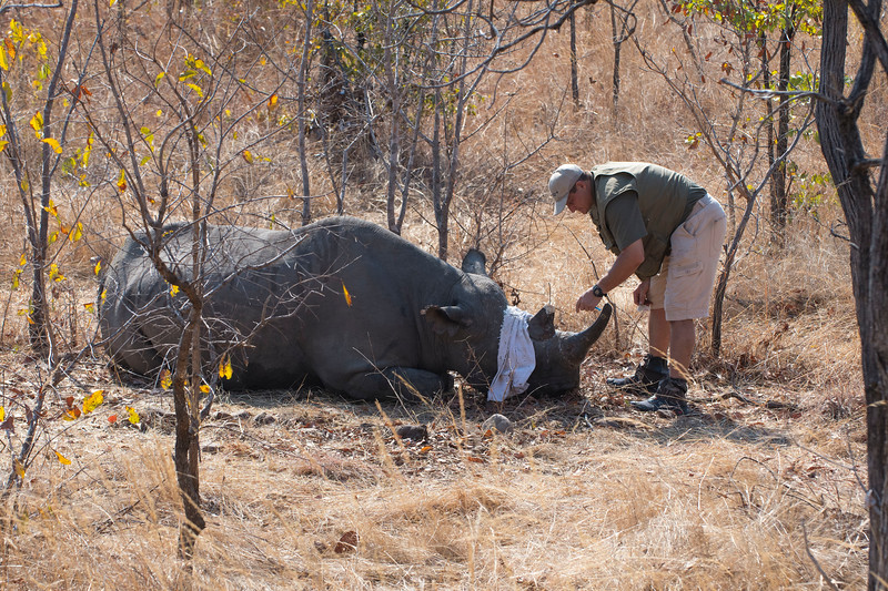 A Black Rhino about to be woken up after being handled by the FZS and vet (Markus Hofmeyr) team in North Luangwa National Park, Zambia. © Daniel Rosengren