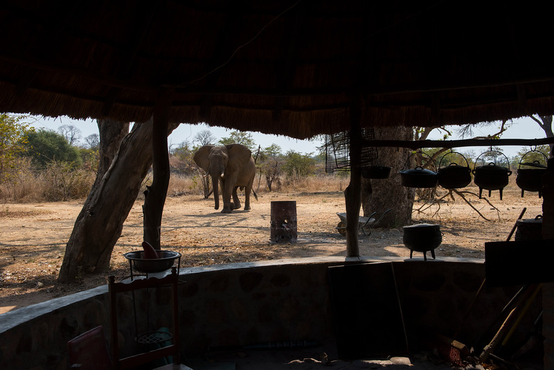 An Elephant visiting the FZS station in North Luangwa National Park, Zambia. © Daniel Rosengren