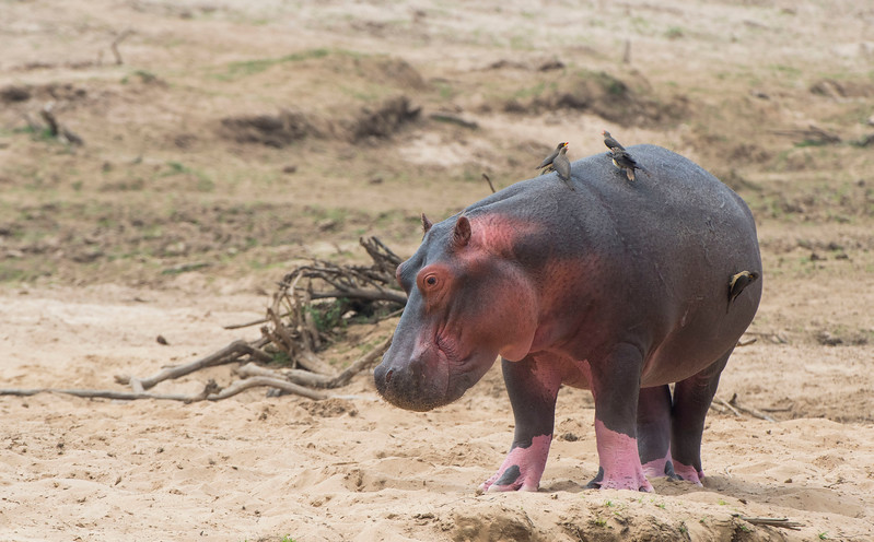 A Hippo with oxpeckers seen by a river in North Luangwa National Park, Zambia. © Daniel Rosengren