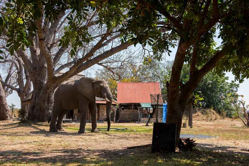An Elephant walking through the FZS station in North Luangwa National Park, Zambia. © Daniel Rosengren