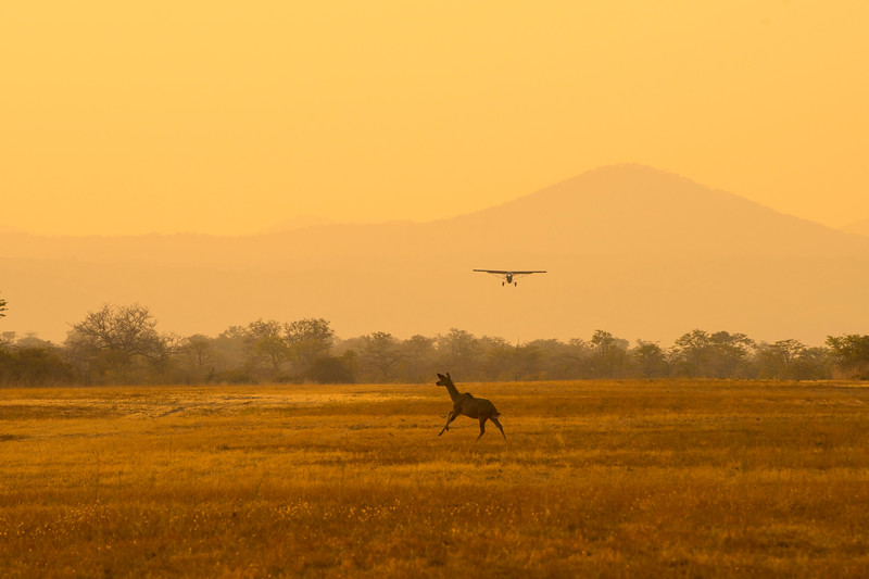 A Greater Kudu running across the air strip as the FZS Husky is about to land. North Luangwa NP, Zambia. © Daniel Rosengren
