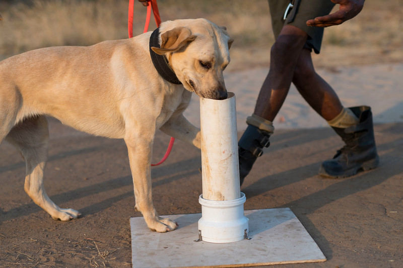 A dog handler with a dog on the daily training session. Bushmeat, ammunition or animals parts used in illegal trade are hidden in plastic tubes and the dogs are trained to sniff them out. When the item has been found, the dog sits down. These dogs are used for anti poaching purposes and are trained to sniff out for example rhino horn, pangolin scales and ammunition. North Luangwa NP. Zambia. © Daniel Rosengren
