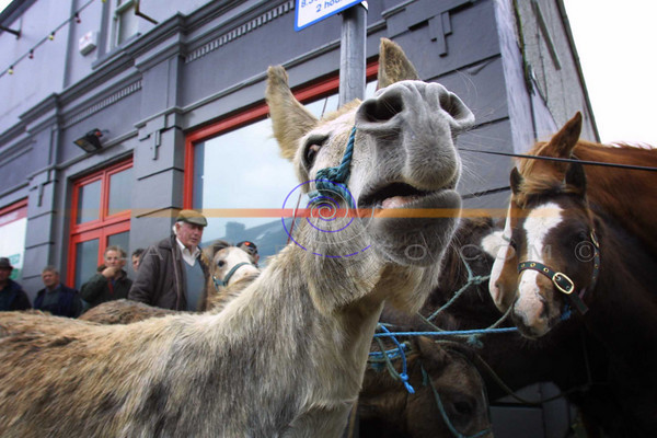 A Noisey ass makes himself heard at the Annual Horse fair in Market St. in Listowel, that is held after the Listowel, Races.<br /> Pic Brendan Landy