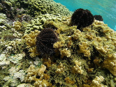 Native collector sea urchins grazing on invasive algae in Kaneohe Bay.  This study showed that by augmenting the native urchin population, the Kappaphycus is effectively managed and the reef was kept clear of the smothering growth.