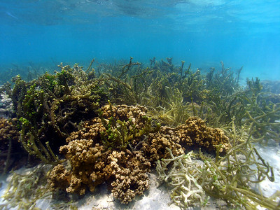 Rice coral in Kaneohe Bay partly covered in the invasive algae Kappaphycus.  Invasive algae grows faster than coral.  Its thick growth can block sunlight, smother and kill coral, which also reduces habitat for other reef dwellers.