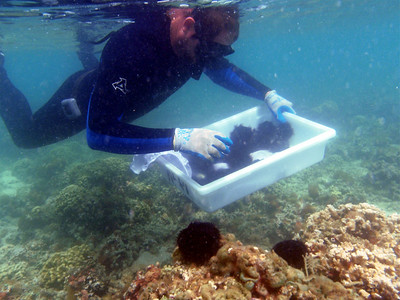 DLNR press release (17 August 2010) - The use of native collector urchins to manage invasive seaweed on a patch reef in Kaneohe Bay