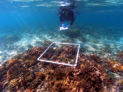 Department of Land and Natural Resources Division of Aquatic Resources diver measuring coral and invasive algae cover on a patch reef in Kaneohe Bay.