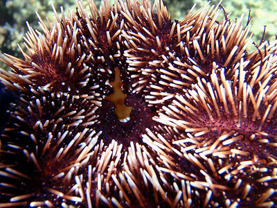 Sea urchin actively eating algae.  Algae fragment is in the sea urchins mouth.