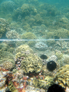 Native collector urchins placed on the patch reef were kept to half of the reef where they grazed invasive algae.  On the half of the reef without sea urchins, invasive algae proliferated.