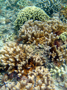 Corals on a patch reef in Kaneohe Bay are kept clear of invasive algae by native sea urchins that have been placed there to graze the algae.