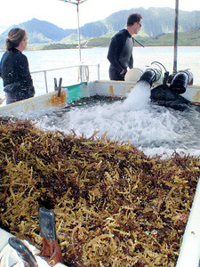 Invasive species is checked for native species before being bagged.  Native species are rarely found inhabiting the seaweed, but those that are found are returned to the reef.