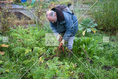 Marty Donnelly harvesting carrots and parsnips.