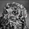 "Photo by Greg Eans, Messenger-Inquirer.com/geans@messenger-inquirer.com<br /> <br /> ""Aggie,"" an Eastern Screech Owl currently in the care of Kristen Allen, founder of the Nurture to Nature Wildlife Rehabilitation Center."