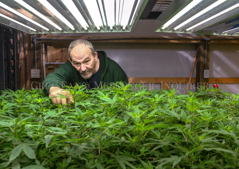 Photo by Greg Eans, Messenger-Inquirer.com | geans@messenger-inquirer.com<br /> <br /> Paul Glover looks over an indoor crop of cloned industrial hemp plants at Mile Marker 5, his hemp production company, in Hawesville.